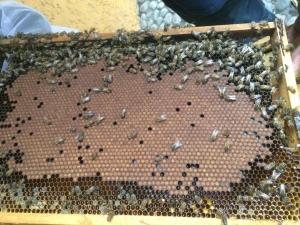 abejas en tabla de apicultura